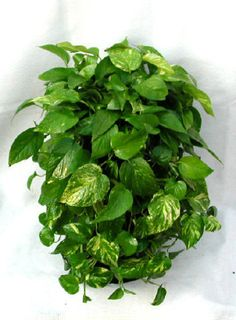 Pothos - Pothos is so easy to grow. The vine can go almost dry before…
