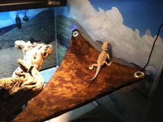 DIY reptile hammock - they have suction cups with plastic hooks Bearded Dragon Vivarium, Bearded Dragon Cage, Bearded Dragon Habitat, Homemade Hammock, Diy Hammock, Pet Lizards, Reptile Room, Corn Snake, Pet Dragon