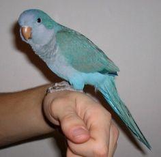 Baby blue Quaker parrot