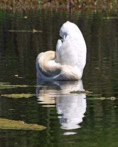 """""""Invective Against Swan(n)s"""" blog entry by Prufrocksdilemma. Swans in Swann..."""