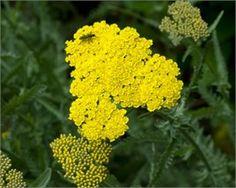 ACHILLEA filipendulina Coronation gold Sarı Civan perçemi Fidesi
