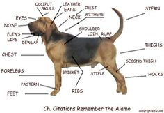 Dog body diagram the breed it should also be proportionate alamolab1g 608419 ccuart Image collections