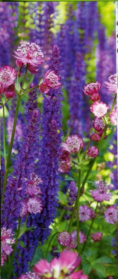Astrantia with Salvia