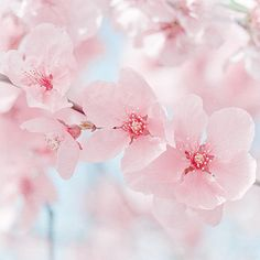 Pink Blossom Photograph. By MarascaPhotography.
