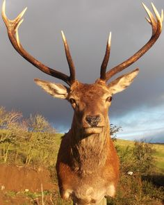 Image result for stag head photos