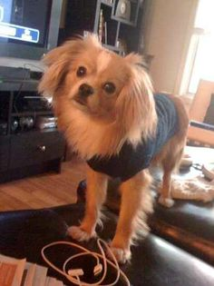 about Cavalier King Charles Mix. on Pinterest | Cavalier King Charles ...