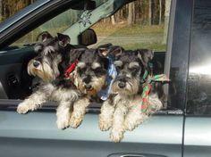 OK Mom hurry! We are ready to go to Petsmart! (Trinity, Reagan and Laya) ~Phantoms~ Miniature Schnauzers