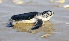 Resultado de imagen para sea turtle