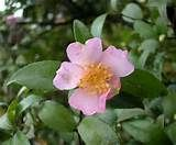 camelia sasanqua - Dogpile Images Search--(This type of camelia blooms in winter--it doesn't lose its leaves--L)
