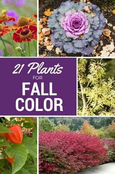 If you long for a bit of color in your autumn yard, take heart. Here are 21 plants that will provide vibrant color and visual interest in your fall landscape, even as cooler days give way to winter. #landscapeplan