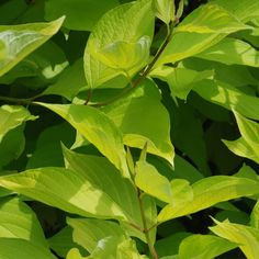 Cornus alba 'Aurea' (Large Plant) - Large Potted Plants - Thompson & Morgan