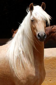 Horse / Beautiful Palomino contributed by Ana Maarie Garcia Montero