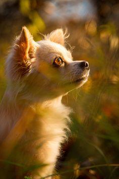 Chihuahua #dog #chihuahuadaily #teacupdogs #teacupchihuahua