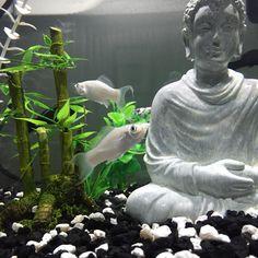 Molly fish in Buddha aquarium.