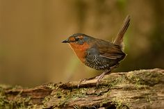 The chucao tapaculo (Scelorchilus rubecula) is a species of bird in the Rhinocryptidae family. It is found in Argentina and Chile, including Magallanes.