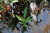 Plántula de mangle rojo, Rhizophora mangle.