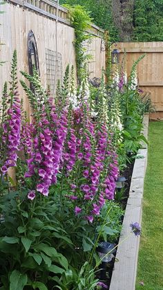 Foxgloves blooming in our garden