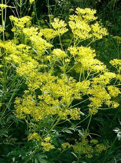 おみなえし (女郎花)      ❀ 秋の七草の一つ ❀     Patrinia scabiosifolia