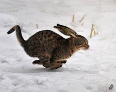 midget cat midget cat pinterest midget cat and cat