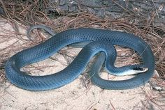 blue racer snake - Google Search Saw two of these in the wild this weekend