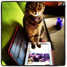 """""""I iz on ur fanz paige. Chekin mah statistikz."""" #SimonAndStellaCats #Stella #Simon #cats #cat #kitty #kitties #kitteh #kittehs #gato #gatos #monkeybuns #furpig #neko #catsofinstagram #purrdycats #Facebook (at La Kitteh Inn Pac..."""