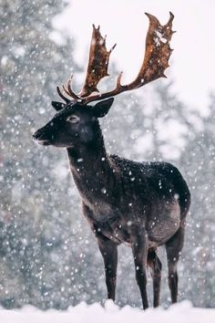 Look who I met on my walk through the woods zeppaio Forest Animals, Nature Animals, Black Animals, Cute Animals, Wild Animals Photography, Deer Photos, Fallow Deer, Mountain Man, Nature Images