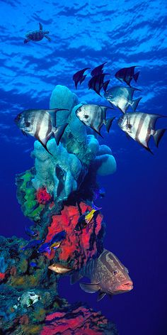 Spadefishes With Nassau Grouper by Panoramic Images