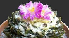 Nombre científico o latino: Ariocarpus spp. Nombre común o vulgar: Ariocarpus. Origen: sur de Texas y México. Sorprendentes cactus sin espinas.