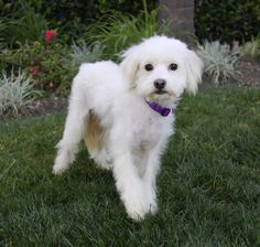 Kimmie was one of my first foster puppies in 2013,.  Meet KIMMIE, a Petfinder adoptable Maltese Dog   Newport Beach, CA   You may meet and apply to adopt Kimmie at our ADOPTION EVENT on SUNDAY, APRIL 1st from 12 Noon -...