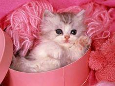 chat tropmimi dans sa boîte rose