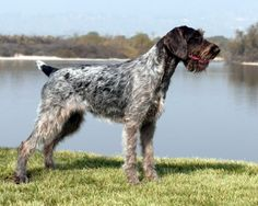 German Wirehair Pointer - Toward the end of the 19th century, when European sportsmen wanted a particular type of hunting dog, they created it. In Germany a wirecoated all-purpose gundog that could withstand rugged working conditions and hunt dangerous quarry was desired.