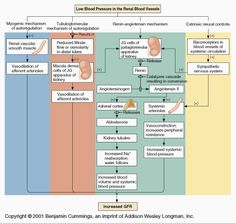 Urinary system - Regulation of glomerular filtration rate; intrinsic and extrinsic mechanisms