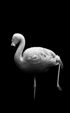 Flamant rose... en noir et blanc / Source : Communauté photo GEO, © Nicolas Evariste