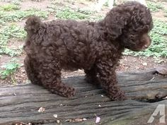 """CKC Registered Toy Poodle Puppy """"Brownie""""; for Sale"""