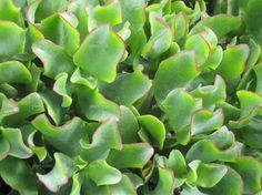"""Crassula arborescens ssp undulatifolia """"Ripple Jade"""""""