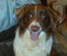 Yay!!!! Bucko, a 1 year old red tri Aussie, has been adopted!! Just aussome!!!