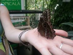 Fluture tropical