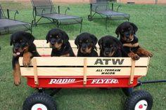 Love my rottweiler puppies....:)