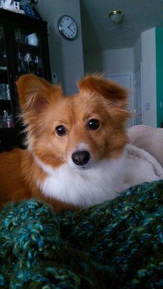 "Our ""fox,"" Finley. He's a corgi/pomeranian mix. : aww"