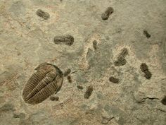 Big trilobite is Modocia sp. and the little trilobites are Agnostida -- Cambrian of Utah, USA
