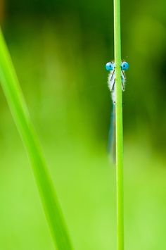 Eye See You - Common Blue Damselfly (Enallagma cyathigerum) - by MatkirschPhoto