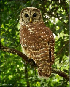 I believe this is a great Barred owl..we have a number of these in Mountain Park
