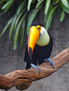 There's something almost unreal about the tucan that makes it highly  captivating