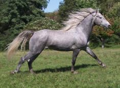Gray Morgan stallion, Amberfield's Steel Magnum