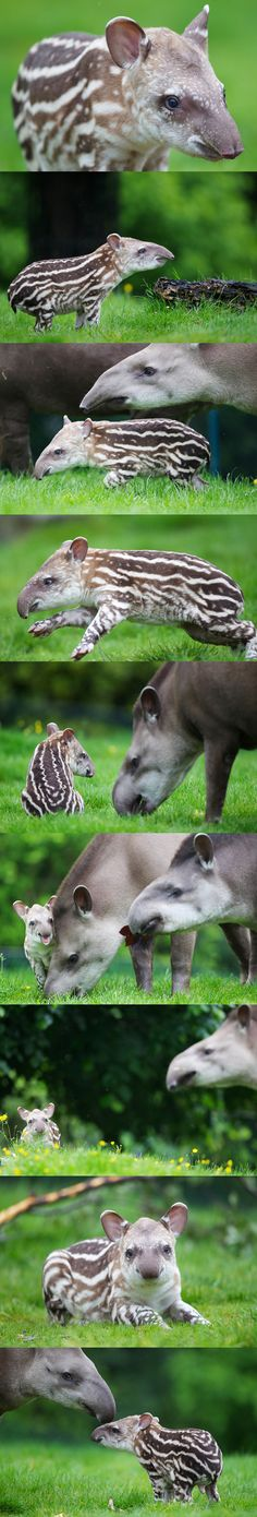 Dublin Zoo is celebrating the birth of a Brazilian tapir born early on Tuesday, 5th June. The male calf, born to mum Rio, and dad Marmaduke, is the pair's first calf together.