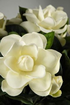 Gardenias, Intensely fragrant white blossoms contrast beautifully with shiny, leathery dark green leaves