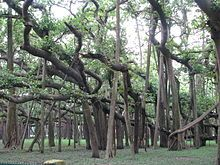 The Great Banyan is a banyan tree (Ficus benghalensis) located in Acharya Jagadish Chandra Bose Indian Botanic Garden, Howrah, near Kolkata, India. It was the widest tree in the world in terms of the area of the canopy and is estimated to be about 1200 to 1250 years old. It became diseased after it was struck by lightning, so in 1925 the middle of the tree was excised to keep the remainder healthy; this has left it as a clonal colony, rather than a single tree.