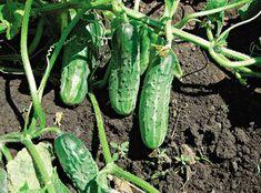 Vegetables, Garden, Garten, Lawn And Garden, Vegetable Recipes, Gardens, Gardening, Outdoor, Veggies