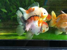 Types Of Gold, Goldfish, Aquarium, Pets, Animals, Goldfish Bowl, Animales, Animaux, Aquarium Fish Tank