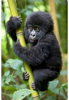 Fuzzy little mountain gorilla practicing its climbing skills. Irresistible!